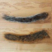 Squirrel-Tail Natur (Eichhörnchen-Schwanz)