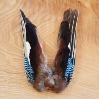 Blue Jay Wings / Eichelhäher-Flügel  Garralus glandarius